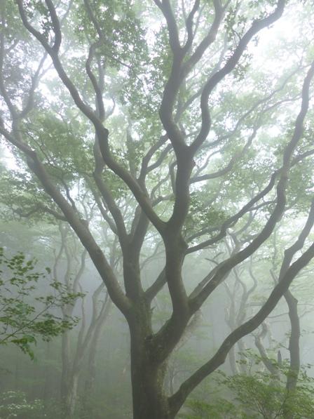 皿ヶ嶺 ブナの木 1