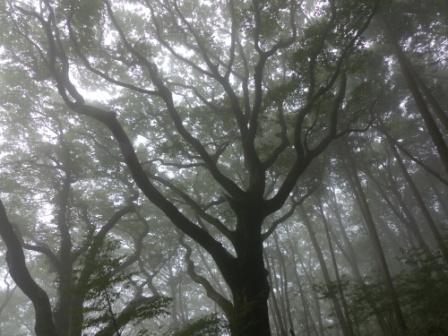 皿ヶ嶺 ブナの木 2