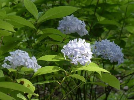 惣河内神社・山紫陽花 伊予てまり