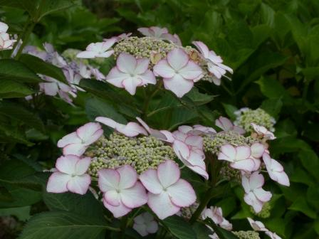 白猪屋花菖蒲園 紫陽花 3
