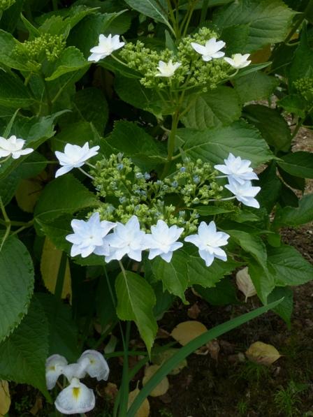 白猪屋花菖蒲園 紫陽花・隅田の花火