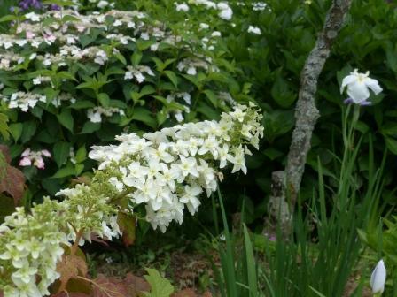 白猪屋花菖蒲園 八重柏葉紫陽花