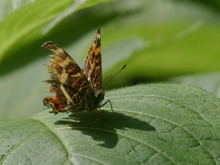 サカハチョウ 1