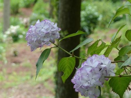 白猪屋花菖蒲園 紫陽花 4