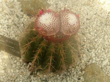 筑波実験植物園 メロカクツス・アーネスティー 2