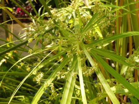 筑波実験植物園 シュロガヤツリ 1