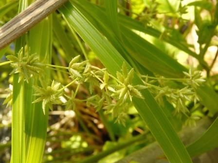 筑波実験植物園 シュロガヤツリ 2