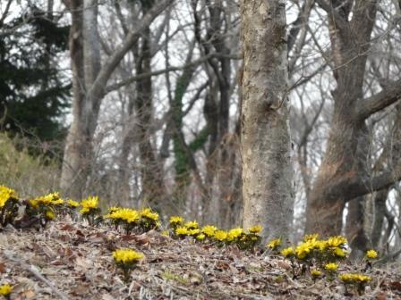 茨城県フラワーパーク 福寿草 4