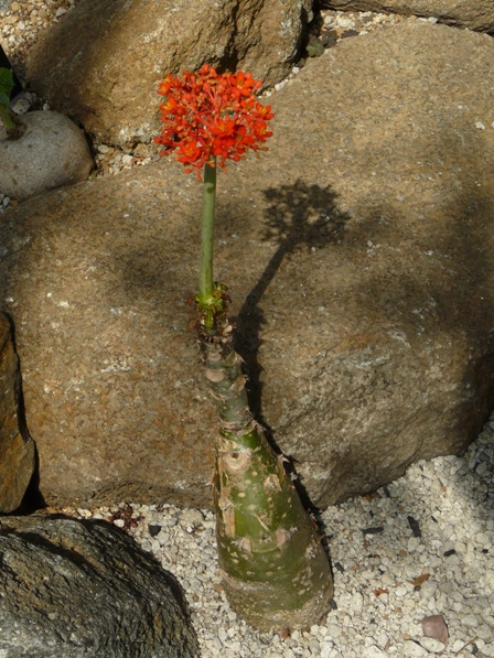 筑波実験植物園 トックリアブラギリ 1