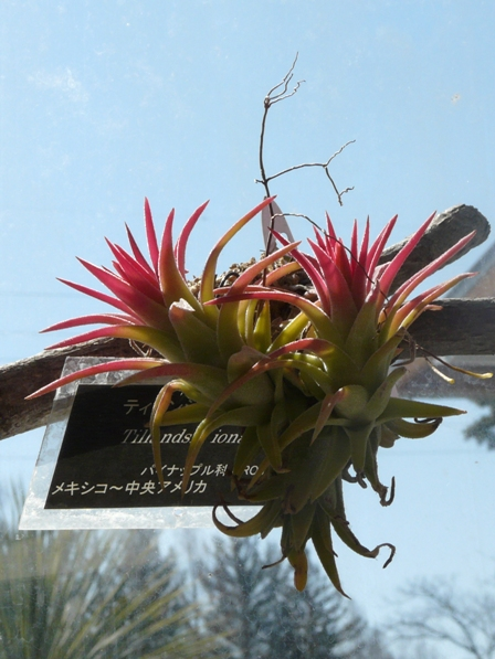 筑波実験植物園 ティランジアの仲間