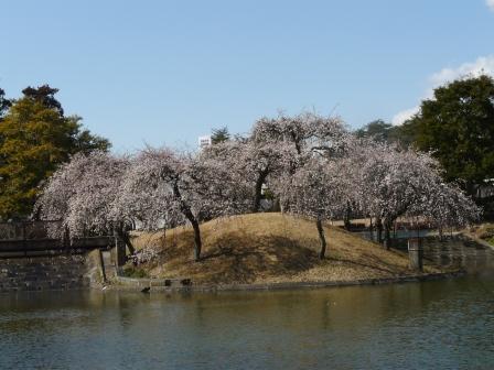 松見公園 枝垂れ梅 7