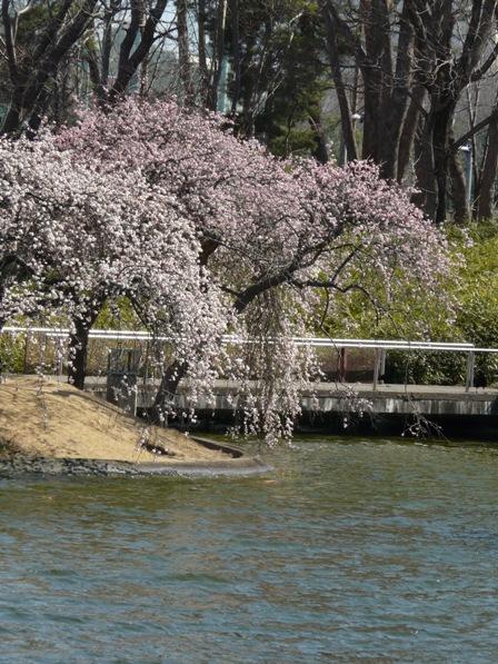 松見公園 枝垂れ梅 9