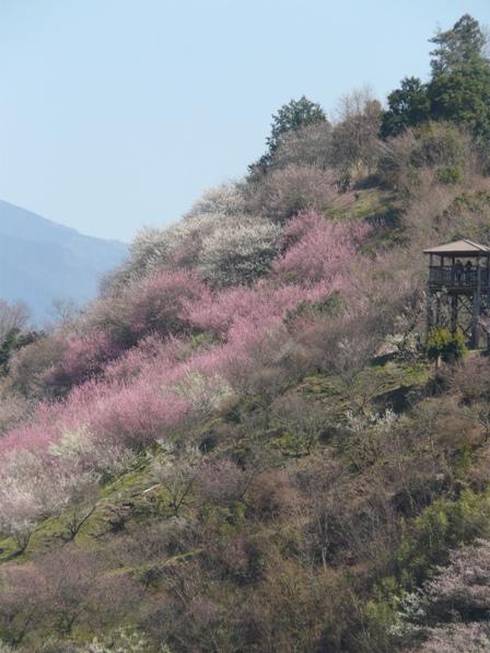 七折梅園 遠景 3