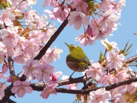 メジロ & 河津桜 5
