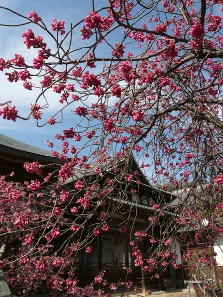 高昌寺 桜 1