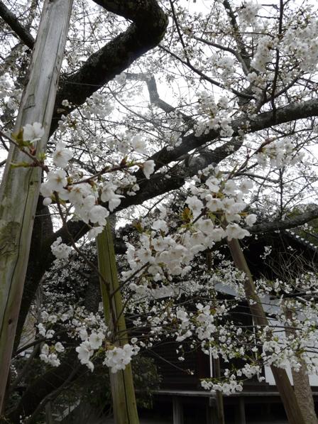 大宝寺 うば桜 5