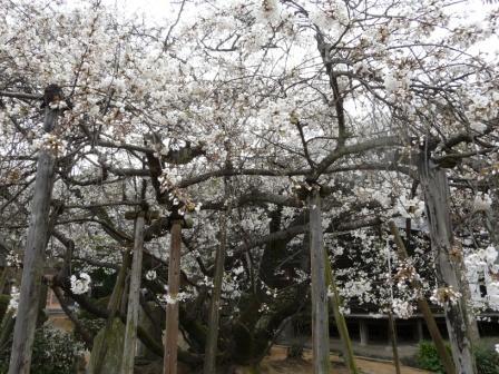 大宝寺 うば桜 6