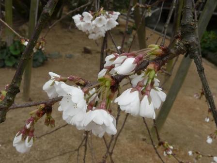 大宝寺 うば桜 7