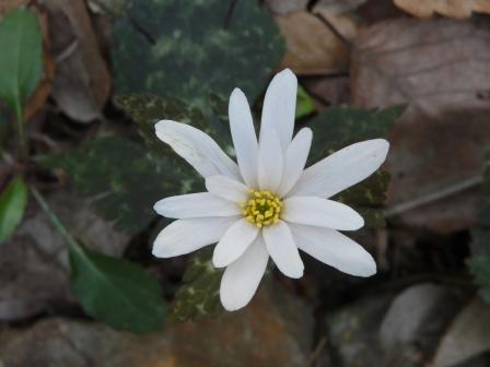 白猪の滝 ユキワリイチゲ 4