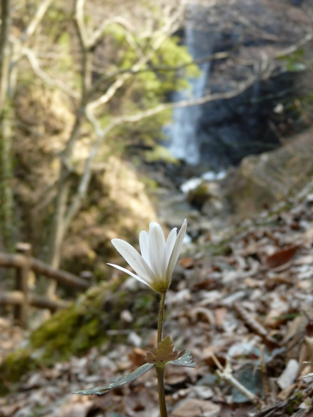 白猪の滝 ユキワリイチゲ 11
