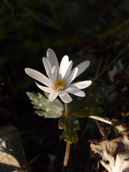 白猪の滝 ユキワリイチゲ 9