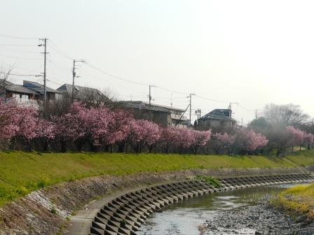 岩堰 陽光 (桜) 1