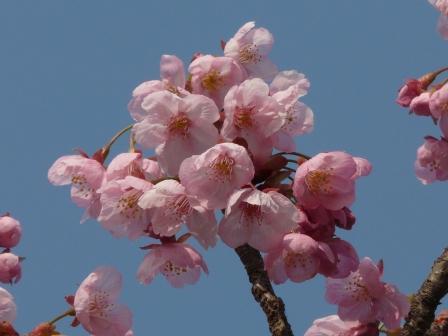 岩堰 陽光 (桜) 3