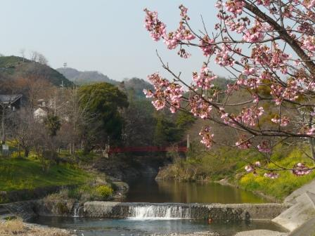 岩堰 陽光 (桜) 2
