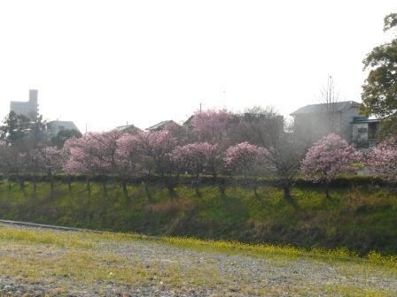 岩堰 陽光 (桜) 4