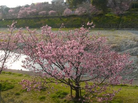 岩堰 陽光 (桜) 5