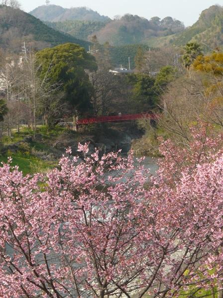 岩堰 陽光 (桜) 6