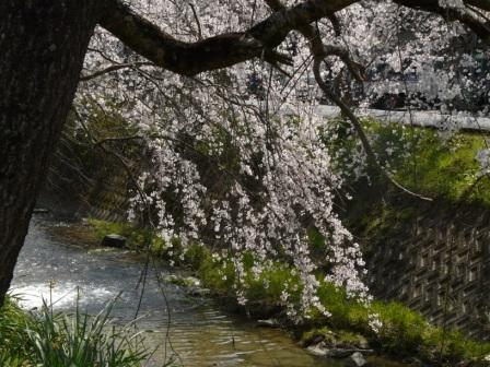 郷之谷川 しだれ桜 4