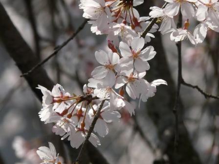 郷之谷川 しだれ桜 8