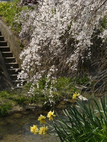 郷之谷川 しだれ桜 5