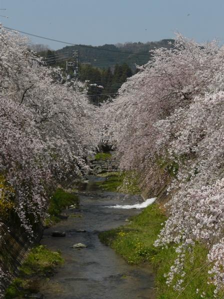 郷之谷川 しだれ桜 3