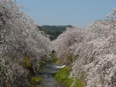 郷之谷川 しだれ桜 1