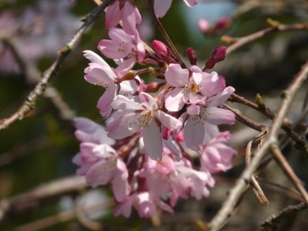 郷之谷川 しだれ桜 9