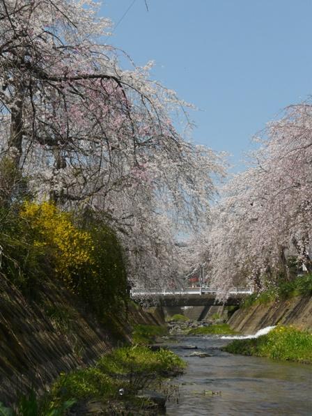 郷之谷川 しだれ桜 7