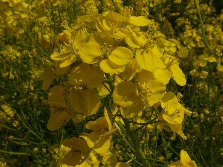 双海 菜の花 5