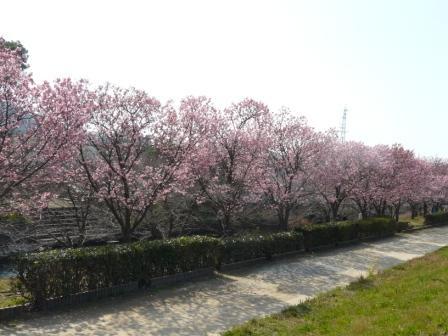 赤坂泉公園 陽光 (桜) 2