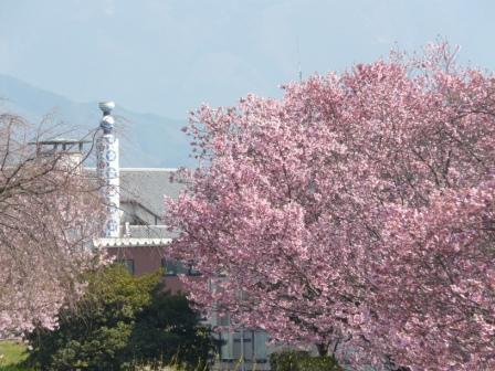 赤坂泉公園 陽光 (桜) 3
