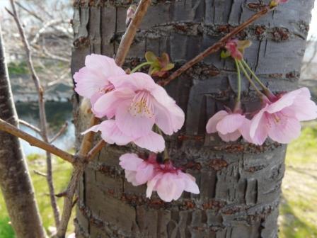 赤坂泉公園 陽光 (桜) 5