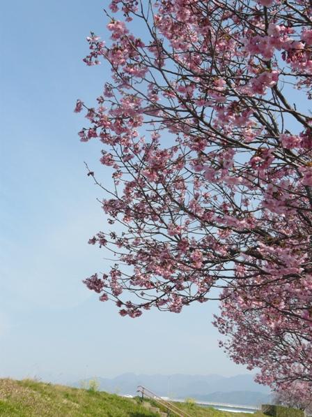 赤坂泉公園 陽光 (桜) 4