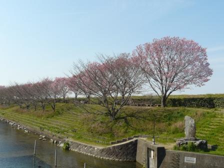 赤坂泉公園 陽光 (桜) 6