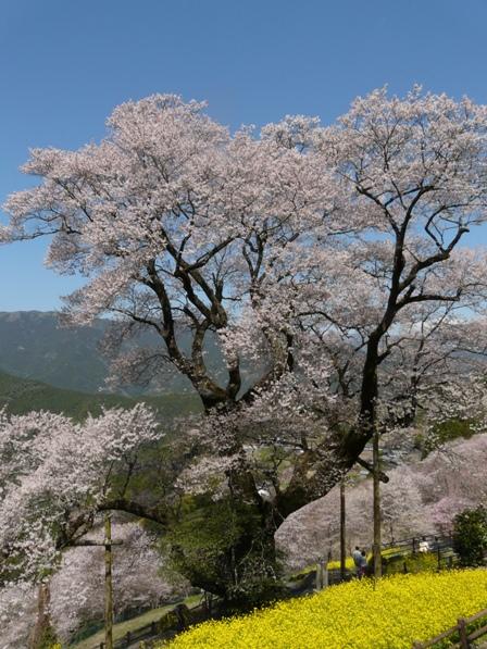 ひょうたん桜 3
