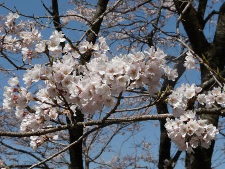 ひょうたん桜 9