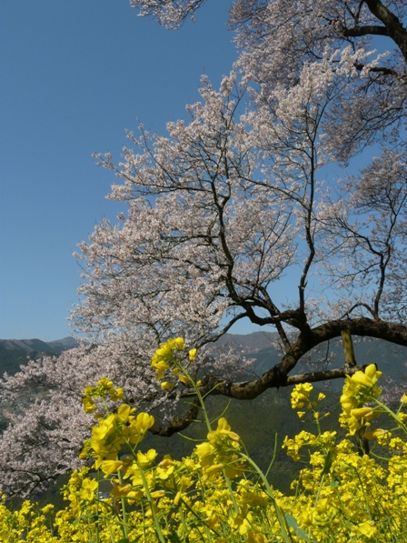 ひょうたん桜 6