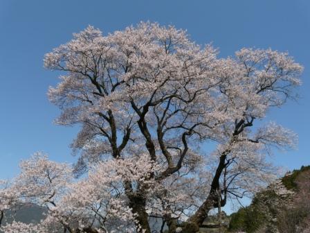 ひょうたん桜 8