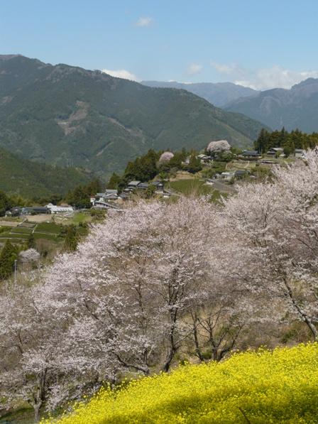 ひょうたん桜 11
