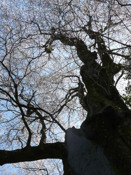 ひょうたん桜 7